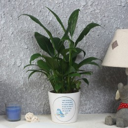 Lush Green Peace Lily Plant