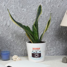 Milt Sansevieria Plant in Printed Pot