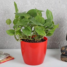 Auspicious Money Plant In Red Pot