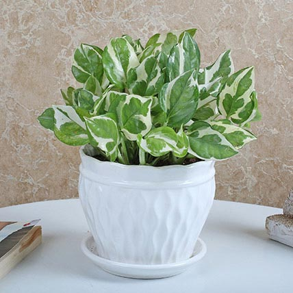 White Pothos Plant In Ceramic Vase