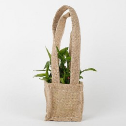 Carry Lucky Bamboo Plant Around