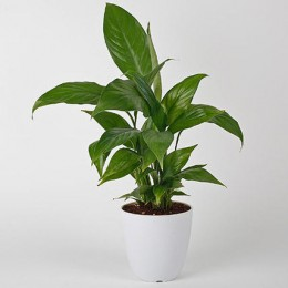 Evergreen Peace Lily Plant