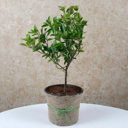 Chinese Orange Dwarf Plant