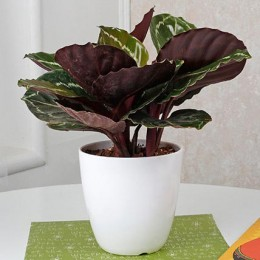 Home Decor Croton Plant