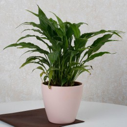 Cheerful Peace Lily Plant