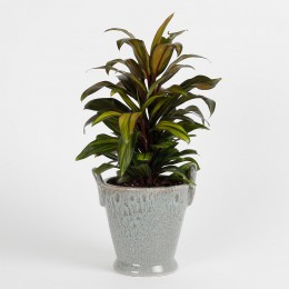 Air Purifying Cordyline Plant