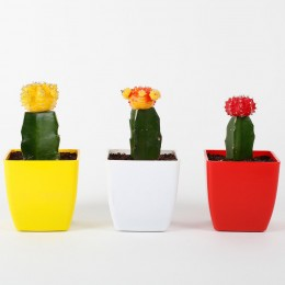 Set of 3 Grafted Cactus Plants