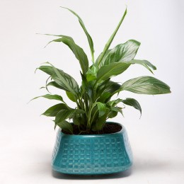 Peace Lily Plant in Blue Ceramic Pot