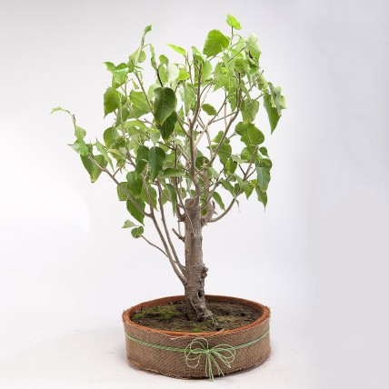 Paras Peepal Bonsai Plant in Terracotta Circular Tray