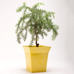 Araucaria Bonsai Plant in Bucket Shaped Metal Pot