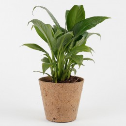 Peace Lily Plant in Coconut Husk Pot