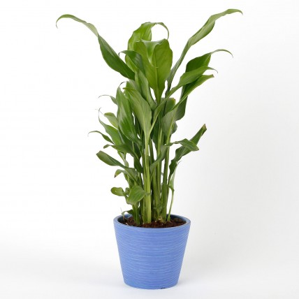 Peace Lily Plant in Blue Recycled Plastic Mini Pot