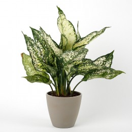 Silver Aglaonema Plant in Recycled Plastic Pot