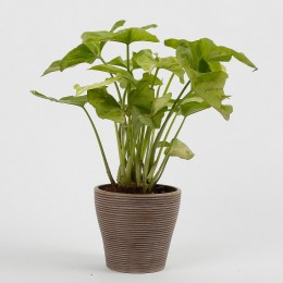 Syngonium Plant in Recycled Plastic Lining Pot- Taupe