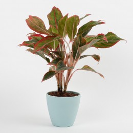 Red Aglaonema Plant In Recycled Plastic Conical Pot