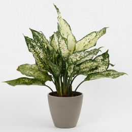 Silver Aglaonema Plant in Recycled Plastic Conical Pot