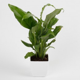 Peace Lily Plant in Imported Plastic Pot