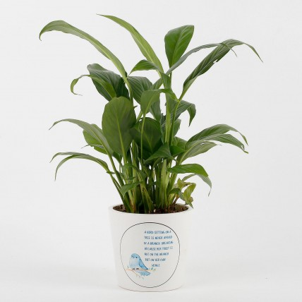 Peace Lily Plant in White Printed Ceramic Pot