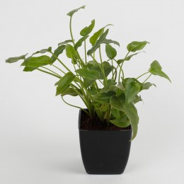 Xanadu Philodendron Plant in Black Imported Plastic Pot