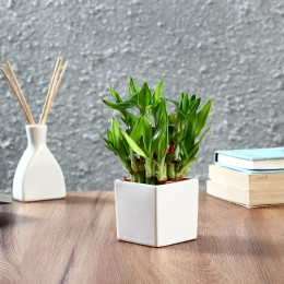 Lucky Bamboo Plant in Square Ceramic Pot