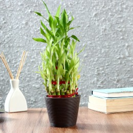 Three Layer Bamboo Plant in Recycled Plastic Pot