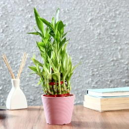 Three Layer Bamboo Plant in Pink Recycled Plastic Pot