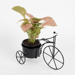 Syngonium Pink Plant in Black Cycle Planter