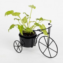 Xanadu Philodendron Golden Plant in Black Cycle Planter
