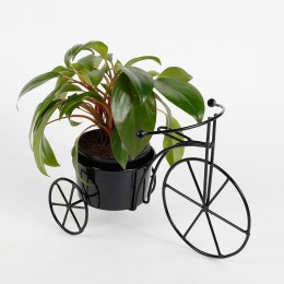 Philodendron Red Plant in Black Cycle Planter