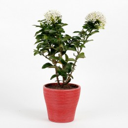 Ixora White Dwarf Plant In Red Recycled Plastic Pot