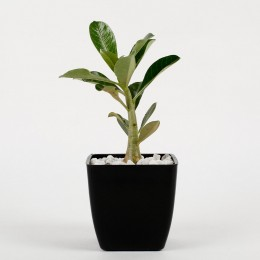 Adenium Dwarf Plant In Black Imported Plastic Pot