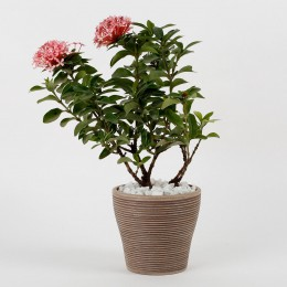 Ixora Red Dwarf Plant In Chocolate Brown Recycled Plastic Pot