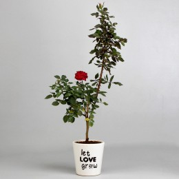 Red Rose Plant in Let Love Grow Ceramic Pot