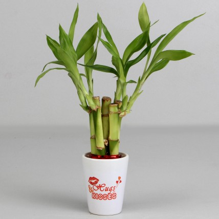Valentine Special Lucky Bamboo Plant