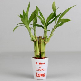 Shot of Lucky Love Bamboo Plant