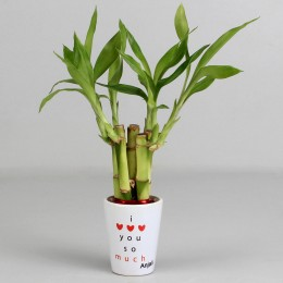 Lucky Bamboo Plant in Personalised I Love You Pot