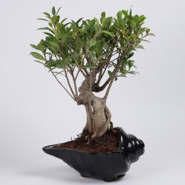 Ficus Oldroots Bonsai Plant in Shell Shaped Pot