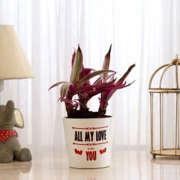 Rhoeo Plant In White Printed Ceramic Pot