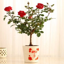 Rose Plant In White Ceramic Pot