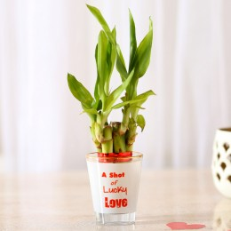 Lucky Bamboo In Printed Glass Vase