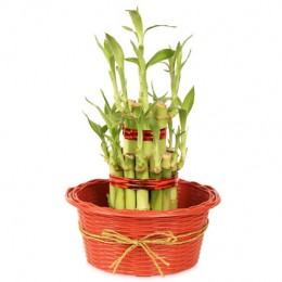2 layers Lucky Bamboo in Fiber Woven Basket