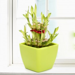 Lucky Bamboo In Green Vase