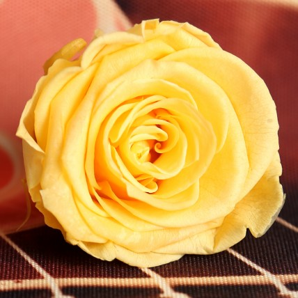 Forever Yellow Rose