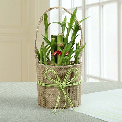 Perfect Lucky Bamboo