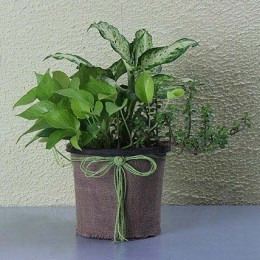 Pothos And Ovata Dish Garden