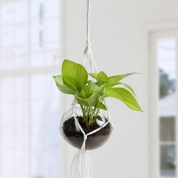 Beautiful Golden Pothos Hanging Terrarium
