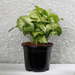 Syngonium White Plant In Black Pot