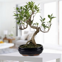 Gorgeous Ficus S shaped Plant