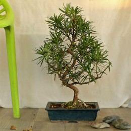 Artistic Bonsai Podocarpus S Shaped Plant