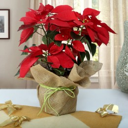 Beautiful Poinsettia Plant